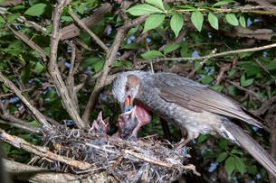 雛に木の実を与えるヒヨドリの親の写真素材 [FYI04102568]