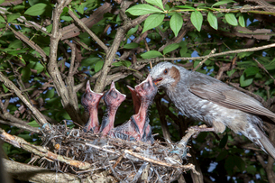 雛に餌を与えるヒヨドリの親の写真素材 [FYI04102573]