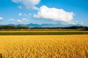 黄金色に輝く田園と八ヶ岳連峰の写真素材 [FYI04102658]