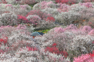 いなべ市梅林公園の梅の花の写真素材 [FYI04102681]