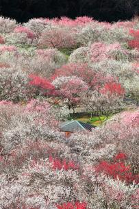 いなべ市梅林公園の梅の花の写真素材 [FYI04102683]