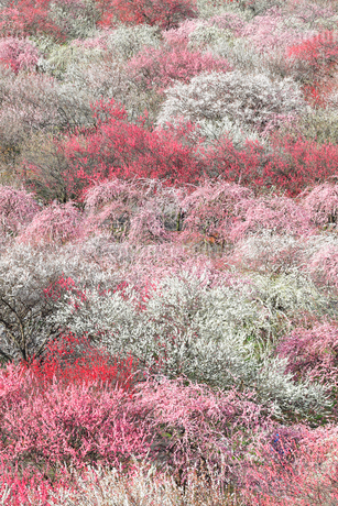 梅の花の写真素材 [FYI04102684]