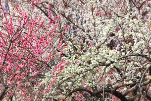 梅の花の写真素材 [FYI04102686]