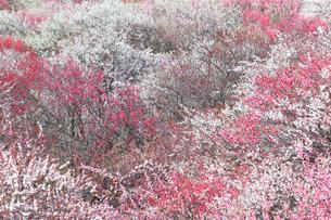 梅の花の写真素材 [FYI04102688]