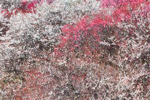 梅の花の写真素材 [FYI04102689]