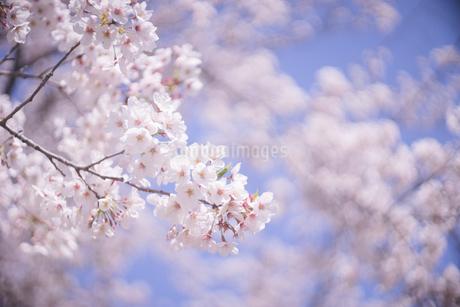 青空と満開の桜の花のお花見写真の写真素材 [FYI04102745]