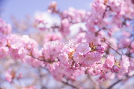 ピンク色の桜の花が満開 春のお花見の写真素材 [FYI04102750]