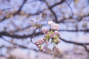 お花見 青空と桜の花(五部咲き・つぼみ)の写真素材 [FYI04102751]