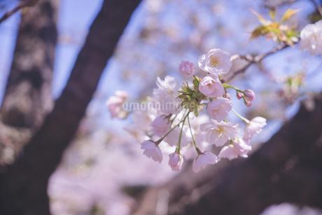 桜の花(つぼみ)のクローズアップ 花見の写真素材 [FYI04102753]