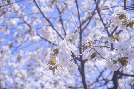 満開〜葉桜 青空と桜の花の写真の写真素材 [FYI04102754]