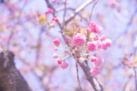 青空とピンク色の桜の花の写真の写真素材 [FYI04102756]