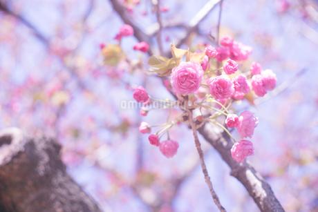 濃いピンク色が可愛い八重桜と青空の写真の写真素材 [FYI04102757]