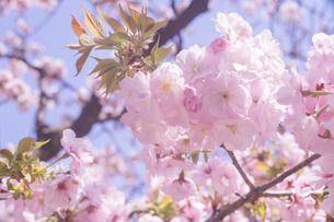 満開〜葉桜の八重桜と青空のお花見写真の写真素材 [FYI04102759]