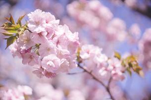 青空と満開の桜の花でお花見の写真の写真素材 [FYI04102761]
