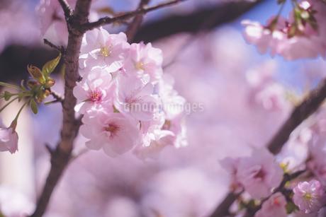 ボケ感の美しい桜の花のクローズアップ写真の写真素材 [FYI04102763]