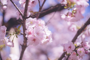 満開〜葉桜の桜の花の写真の写真素材 [FYI04102764]