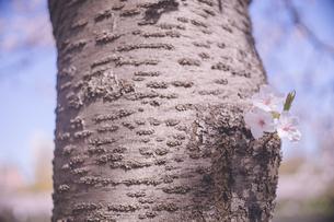 桜の木の幹から花が咲いている様子の写真素材 [FYI04102765]