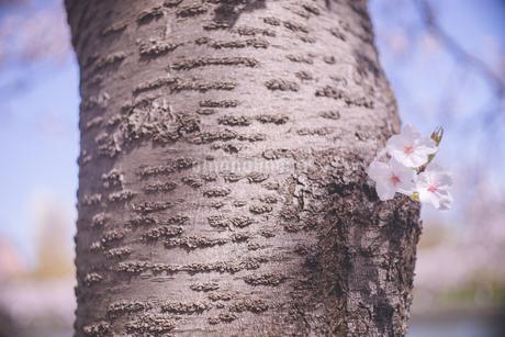 青空をバックに桜の木の幹と桜の花の写真素材 [FYI04102766]