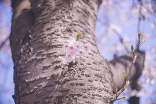 青空を背景に美しい桜の花と幹の写真の写真素材 [FYI04102767]