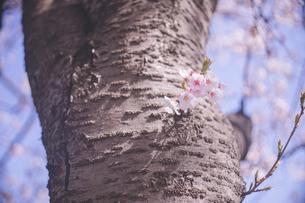 青空と桜の幹と満開の花の写真の写真素材 [FYI04102769]