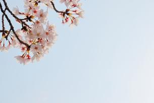 太陽の光にやさしく照らされた桜の写真素材 [FYI04102779]