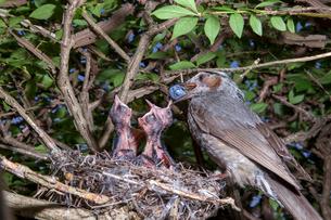 雛に木の実を与えるヒヨドリの親の写真素材 [FYI04102839]