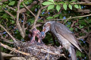 雛に木の実を与えるヒヨドリの親の写真素材 [FYI04102840]
