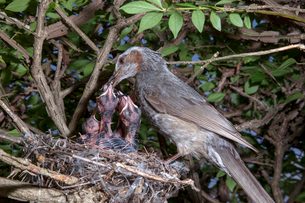 雛にクモを与えるヒヨドリの親の写真素材 [FYI04102843]