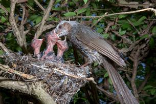 雛に餌を与えるヒヨドリの親の写真素材 [FYI04102844]