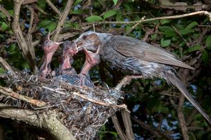 雛に餌を与えるヒヨドリの親の写真素材 [FYI04102845]