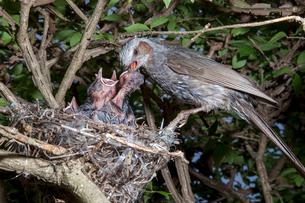 雛に餌を与えるヒヨドリの親の写真素材 [FYI04102851]