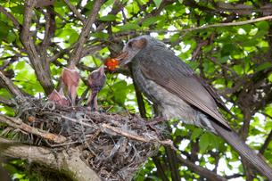 雛に木の実を与えるヒヨドリの親の写真素材 [FYI04102853]