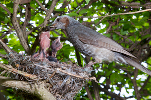 雛に虫を与えるヒヨドリの親の写真素材 [FYI04102854]