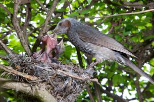 雛に餌を与えるヒヨドリの親の写真素材 [FYI04102855]
