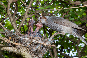 雛に虫を与えるヒヨドリの親の写真素材 [FYI04102858]