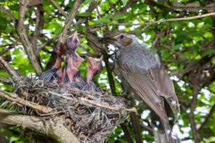 雛に虫を与えるヒヨドリの親の写真素材 [FYI04102860]