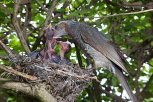 雛に餌を与えるヒヨドリの親の写真素材 [FYI04102861]
