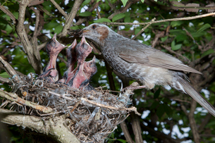 雛に虫を与えるヒヨドリの親の写真素材 [FYI04102874]