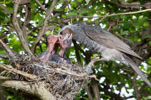 雛に餌を与えるヒヨドリの親の写真素材 [FYI04102877]
