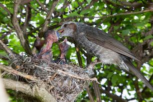 雛に木の実を与えるヒヨドリの親の写真素材 [FYI04102879]