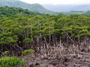 マングローブの森の写真素材 [FYI04102938]