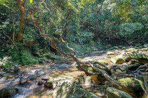 西表島のジャングルの写真素材 [FYI04102941]