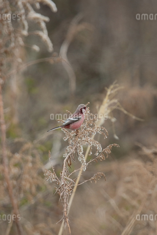 葦の種を食べるベニマシコの写真素材 [FYI04102945]