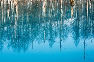 青い湖面に写る枯れ木の写真素材 [FYI04103070]