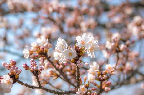 桜とつぼみの写真素材 [FYI04103352]