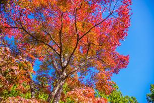 紅葉 けいはんな記念公園の写真素材 [FYI04103399]