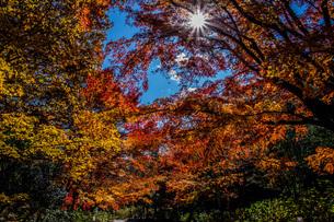 紅葉と星形の太陽の写真素材 [FYI04103404]