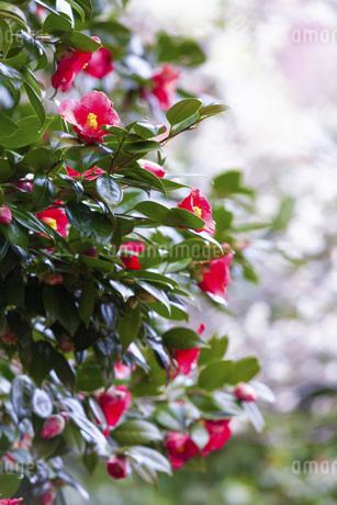 神奈川県の湯河原梅林の椿の花の写真素材 [FYI04103521]