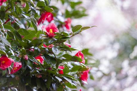 神奈川県の湯河原梅林の椿の花の写真素材 [FYI04103522]
