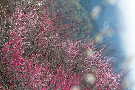 神奈川県の湯河原梅林の梅の花の写真素材 [FYI04103523]